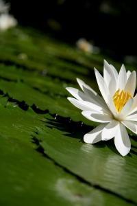 751831_87007486_lotus
