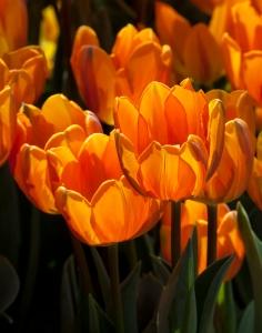 1442176_82908452_tulips